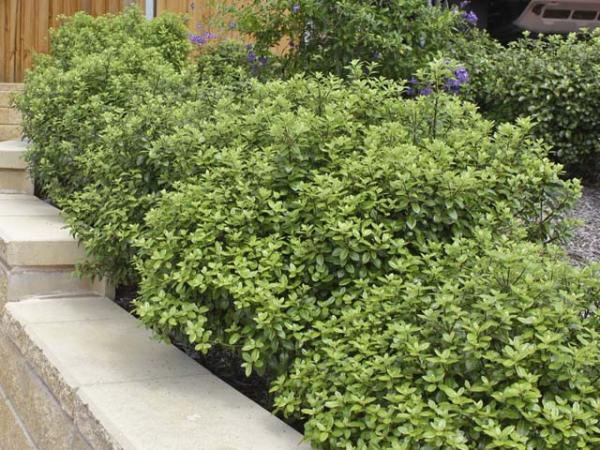 pittosporum plant2