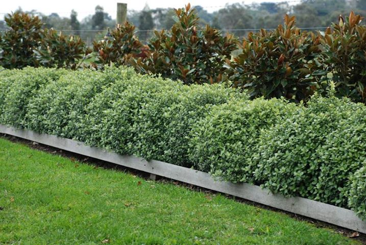 pittosporum plant3