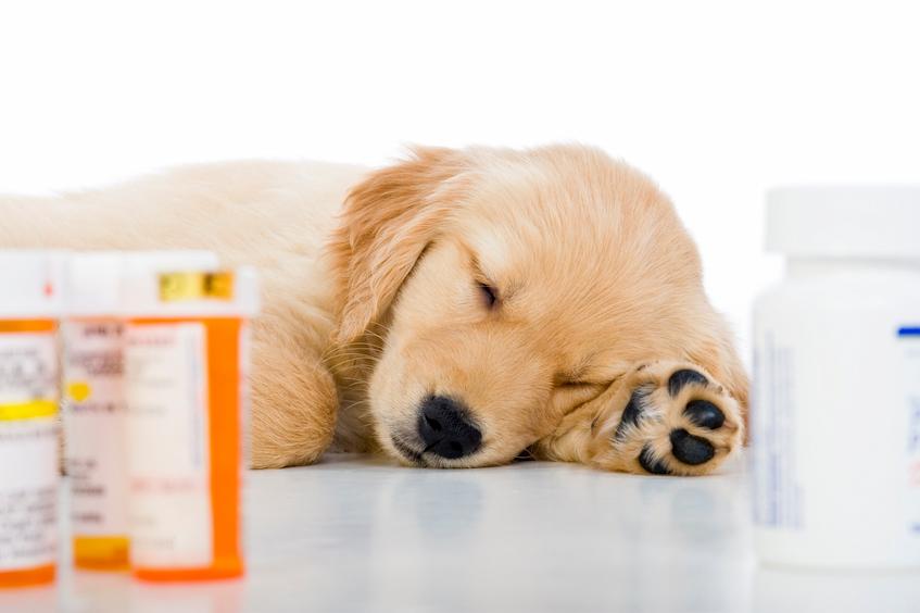 dog sleeping with medication pills